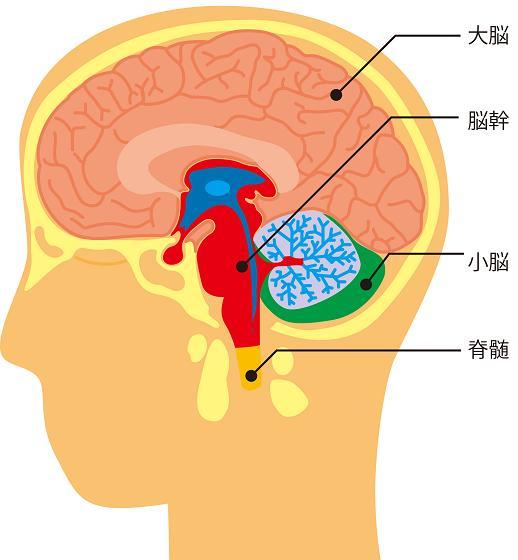 小脳、脳幹